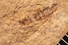 http://mczbase.mcz.harvard.edu/specimen_images/entomology/paleo/large/PALE-311_Mesobrochus_lethaeus_type_1.jpg