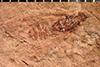 http://mczbase.mcz.harvard.edu/specimen_images/entomology/paleo/large/PALE-311_Mesobrochus_lethaeus_type_2.jpg