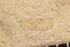 http://mczbase.mcz.harvard.edu/specimen_images/entomology/paleo/large/PALE-3168_Lithopsocidium_permianum_holotype_2.jpg