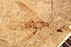 http://mczbase.mcz.harvard.edu/specimen_images/entomology/paleo/large/PALE-316_Mesobrochus_imbecillus_type.jpg