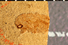 http://mczbase.mcz.harvard.edu/specimen_images/entomology/paleo/large/PALE-32_Eudiagogus_examinis_type.jpg