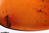 http://mczbase.mcz.harvard.edu/specimen_images/entomology/paleo/large/PALE-33509_Iridomyrmex_hispaniolae_paratype.jpg