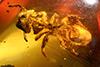 http://mczbase.mcz.harvard.edu/specimen_images/entomology/paleo/large/PALE-33515_Exocryptocerus_serratus_paratype.jpg