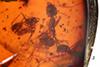 http://mczbase.mcz.harvard.edu/specimen_images/entomology/paleo/large/PALE-33517_Iridomyrmex_hispaniolae_paratype.jpg