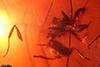 http://mczbase.mcz.harvard.edu/specimen_images/entomology/paleo/large/PALE-33522_Monacis_caribbaea_paratype.jpg