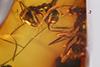 http://mczbase.mcz.harvard.edu/specimen_images/entomology/paleo/large/PALE-33530_Iridomyrmex_hispaniolae_paratype.jpg
