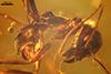 http://mczbase.mcz.harvard.edu/specimen_images/entomology/paleo/large/PALE-33530_syn1_Iridomyrmex_hispaniolae_paratype.jpg