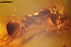 http://mczbase.mcz.harvard.edu/specimen_images/entomology/paleo/large/PALE-33530_syn2_Iridomyrmex_hispaniolae_paratype.jpg