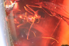 http://mczbase.mcz.harvard.edu/specimen_images/entomology/paleo/large/PALE-33532_Iridomyrmex_hispaniolae_paratype_1.jpg
