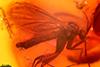 http://mczbase.mcz.harvard.edu/specimen_images/entomology/paleo/large/PALE-33544_syn1_Mycetophilidae.jpg