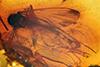 http://mczbase.mcz.harvard.edu/specimen_images/entomology/paleo/large/PALE-33546_Mycetophilidae.jpg