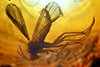 http://mczbase.mcz.harvard.edu/specimen_images/entomology/paleo/large/PALE-33548_Sciaridae.jpg