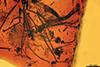http://mczbase.mcz.harvard.edu/specimen_images/entomology/paleo/large/PALE-33552_syn2_Chironomidae.jpg