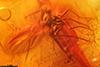 http://mczbase.mcz.harvard.edu/specimen_images/entomology/paleo/large/PALE-33558_Sciaridae.jpg