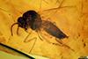 http://mczbase.mcz.harvard.edu/specimen_images/entomology/paleo/large/PALE-33559_Atriculicoides_globosus.jpg