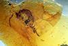 http://mczbase.mcz.harvard.edu/specimen_images/entomology/paleo/large/PALE-33561_Ceratopogonidae.jpg