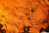 http://mczbase.mcz.harvard.edu/specimen_images/entomology/paleo/large/PALE-33566_Mycetophilidae.jpg