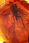 http://mczbase.mcz.harvard.edu/specimen_images/entomology/paleo/large/PALE-33567_Mycetophilidae.jpg