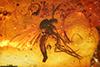 http://mczbase.mcz.harvard.edu/specimen_images/entomology/paleo/large/PALE-33571_Mycetophilidae.jpg
