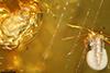 http://mczbase.mcz.harvard.edu/specimen_images/entomology/paleo/large/PALE-33576_Collembola_qm.jpg