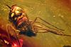 http://mczbase.mcz.harvard.edu/specimen_images/entomology/paleo/large/PALE-33588_Dolichopodidae.jpg