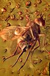 http://mczbase.mcz.harvard.edu/specimen_images/entomology/paleo/large/PALE-33593_Dolichopodidae.jpg