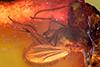 http://mczbase.mcz.harvard.edu/specimen_images/entomology/paleo/large/PALE-33595_Dolichopodidae.jpg