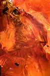 http://mczbase.mcz.harvard.edu/specimen_images/entomology/paleo/large/PALE-33597_Dolichopodidae_qm.jpg