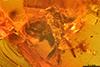 http://mczbase.mcz.harvard.edu/specimen_images/entomology/paleo/large/PALE-33599_syn1_Brachycera.jpg
