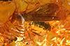 http://mczbase.mcz.harvard.edu/specimen_images/entomology/paleo/large/PALE-33603_Dolichopodidae.jpg