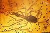 http://mczbase.mcz.harvard.edu/specimen_images/entomology/paleo/large/PALE-33606_Chironomidae.jpg