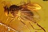 http://mczbase.mcz.harvard.edu/specimen_images/entomology/paleo/large/PALE-33612_syn1_Dolichopodidae.jpg