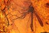 http://mczbase.mcz.harvard.edu/specimen_images/entomology/paleo/large/PALE-33613_Chironomidae.jpg