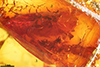 http://mczbase.mcz.harvard.edu/specimen_images/entomology/paleo/large/PALE-33619_Mycetophilidae.jpg