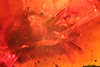 http://mczbase.mcz.harvard.edu/specimen_images/entomology/paleo/large/PALE-33620_Araneae.jpg