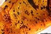 http://mczbase.mcz.harvard.edu/specimen_images/entomology/paleo/large/PALE-33621_Pseudomyrmex_succinus_paratype_1.jpg