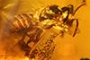http://mczbase.mcz.harvard.edu/specimen_images/entomology/paleo/large/PALE-33623_syn2_Apocrita.jpg