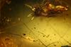 http://mczbase.mcz.harvard.edu/specimen_images/entomology/paleo/large/PALE-33624_Pseudomyrmex_nexilis_holotype.jpg