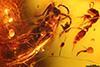 http://mczbase.mcz.harvard.edu/specimen_images/entomology/paleo/large/PALE-33628_Pseudomyrmex_succinus_holotype.jpg