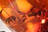 http://mczbase.mcz.harvard.edu/specimen_images/entomology/paleo/large/PALE-33629_Pseudomyrmex_nexilis_paratype_1.jpg