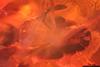 http://mczbase.mcz.harvard.edu/specimen_images/entomology/paleo/large/PALE-33629_Pseudomyrmex_nexilis_paratype_2.jpg