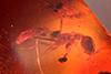 http://mczbase.mcz.harvard.edu/specimen_images/entomology/paleo/large/PALE-33640_Pseudomyrmex_prioris_holotype.jpg