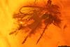 http://mczbase.mcz.harvard.edu/specimen_images/entomology/paleo/large/PALE-33644_syn2_Chironomidae.jpg