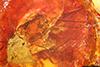 http://mczbase.mcz.harvard.edu/specimen_images/entomology/paleo/large/PALE-33663_Dolichopodidae_qm.jpg