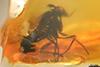 http://mczbase.mcz.harvard.edu/specimen_images/entomology/paleo/large/PALE-33668_Prohercostomus_meunierianus_1.jpg
