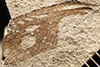 http://mczbase.mcz.harvard.edu/specimen_images/entomology/paleo/large/PALE-33684_Spiloblattina_gardineri_qm.jpg