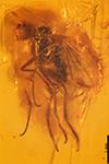 http://mczbase.mcz.harvard.edu/specimen_images/entomology/paleo/large/PALE-33692_Prohercostomus_sp.jpg