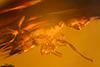 http://mczbase.mcz.harvard.edu/specimen_images/entomology/paleo/large/PALE-33942_Solenopsis_sp.jpg