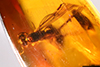 http://mczbase.mcz.harvard.edu/specimen_images/entomology/paleo/large/PALE-33946_Solenopsis_sp.jpg