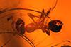 http://mczbase.mcz.harvard.edu/specimen_images/entomology/paleo/large/PALE-33949_Solenopsis_sp.jpg